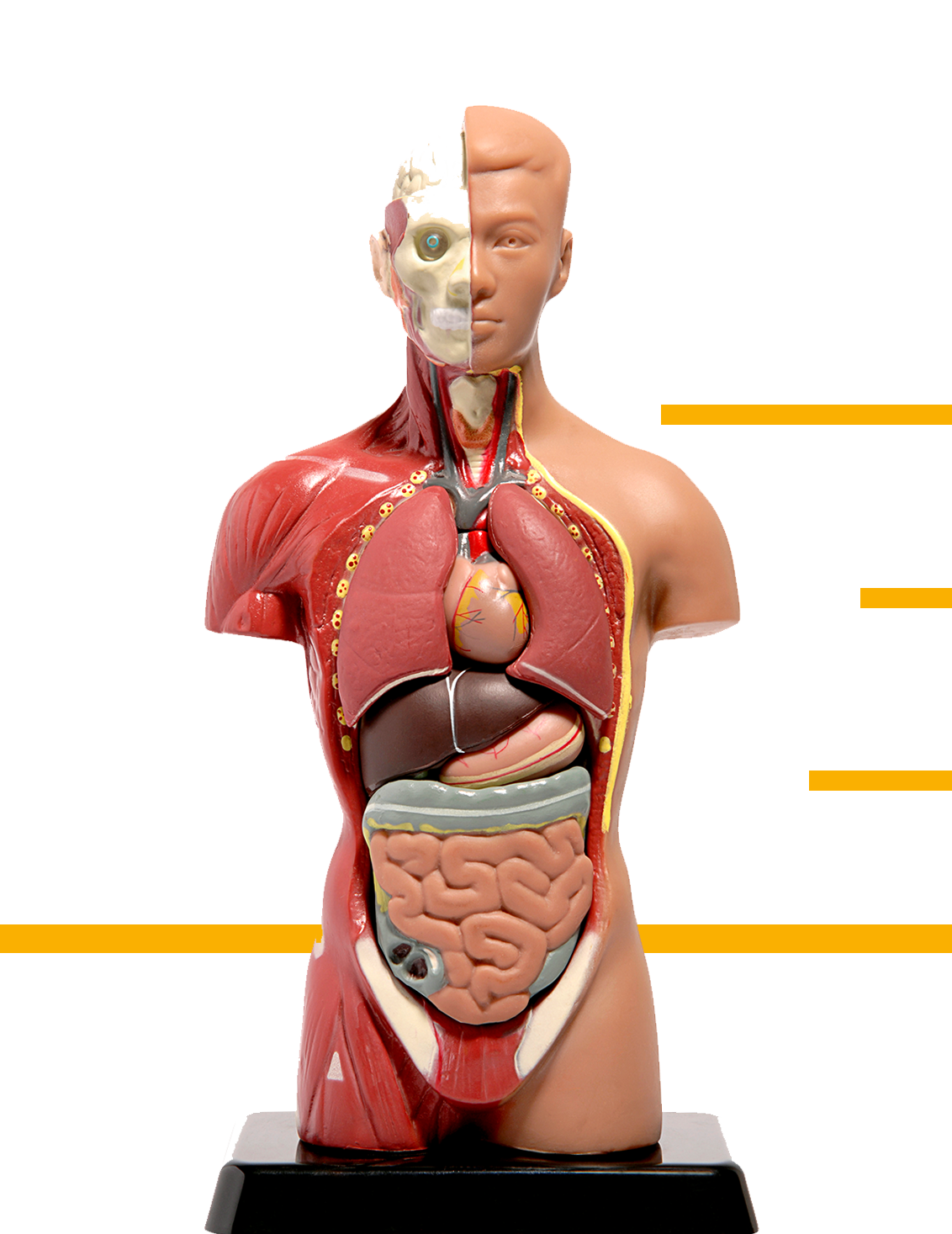 Modell Körper mit Organen Gesundheitszentrum Dr. Dr. Tadzic